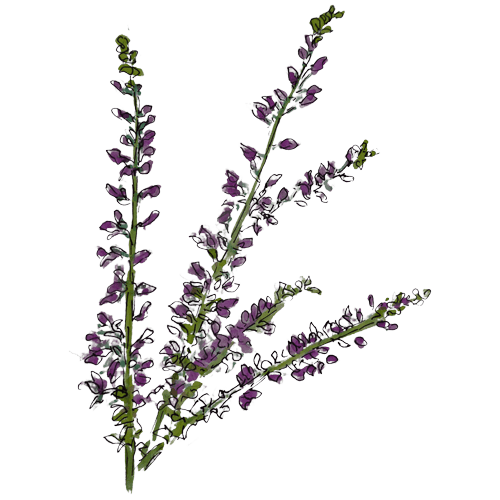 Heather Wild Foraged Ingredient by Rhug Wild Beauty