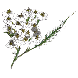 Yarrow Wild Foraged Ingredient by Rhug Wild Beauty