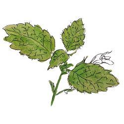 Lemon Balm Wild Foraged Ingredient by Rhug Wild Beauty